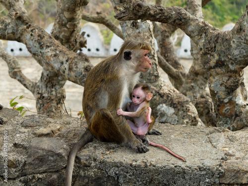 Fotobehang Aap Baby Monkey suckling (Toque Macaque) - Sri Lanka