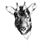 Goral goat sketch vector graphics head black-and-white monochrome pattern - 174598424