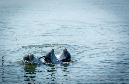 Fototapeta Wild Atlantic Bottlenose Dolphin in Savannah Georgia