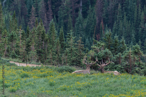 Two Large Elk Lay in Wildflower Field