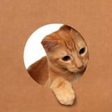 Cute little orange tabby kitten playing in a cardboard box