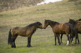 The horses kiss on the background of nature and find out who is the main and get acquainted. Battle for the female.