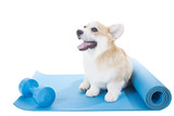 corgi dog sitting on a yoga mat, concentrating for exercise, isolated on white background