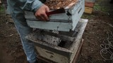 Beekeeper bouncing bees to new hive - 174664066