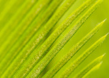 Cycad leaves with green background