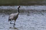 Grue cendrée - Grus grus - Common Crane - 174674842