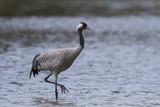 Grue cendrée - Grus grus - Common Crane - 174674846