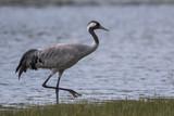 Grue cendrée - Grus grus - Common Crane - 174674848