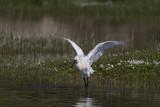 Spatule blanche - Platalea leucorodia - Eurasian Spoonbill - 174675611