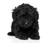 Toy poodle puppy on white - 174678813