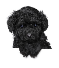 Toy Poodle puppy above banner