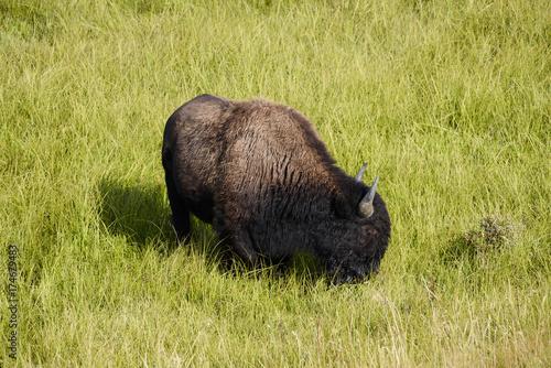Fotobehang Bison Bison grazing in lammar valley