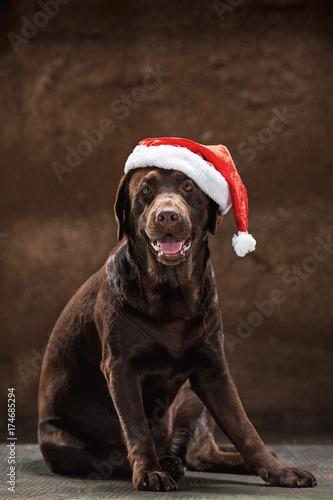 The black labrador retriever sitting with gifts on Christmas Santa hat