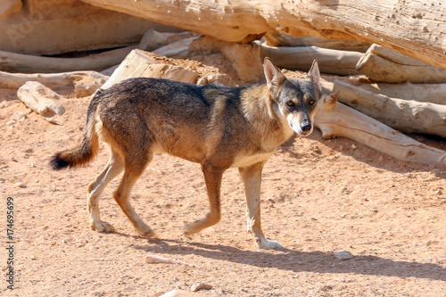 Fotobehang Wolf Arabian Wolf