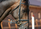 Portrait of a bay sport horse in motion - 174699826