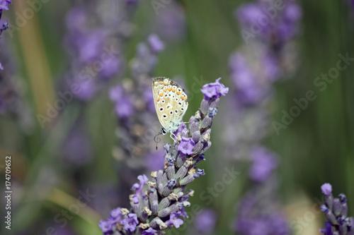 Papillon et lavande Poster