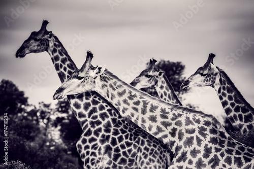 Fotobehang Purper Beautiful wild giraffes