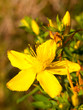st john's wort yellow wild flower close up outside