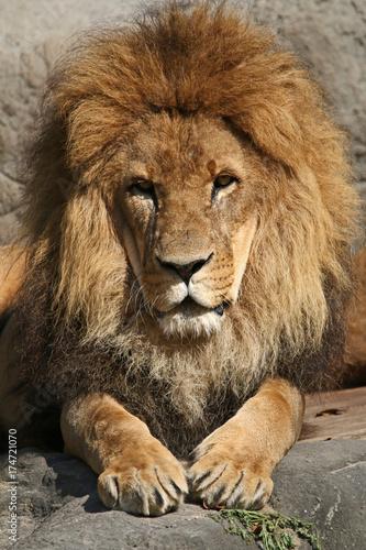 Aluminium Lion Löwenportrait