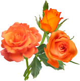 three orange roses bunch isolated on white