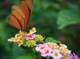 Orange Butterfly - 174722608