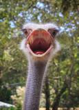 Head shot of an ostrich - 174722634