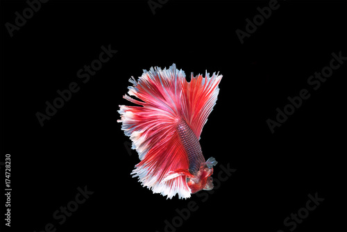 Capture the moving moment of white siamese fighting fish isolated on black background,beauty, Betta fish Poster