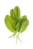 Bundle of fresh Sorrel (Rumex acetosa), top view white background - 174730011