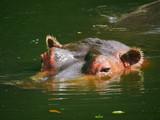 Hippopotame - 174733470