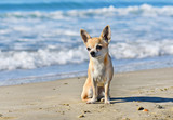 chihuahua on the beach - 174736200