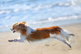 running chihuahua on the beach - 174736256