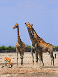 Giraffes standing on the dry hot plains in Etosha - 174740635