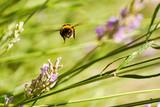 Biene im Flug über einer Lavendelblüte - 174748235