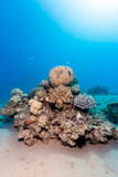 A beautiful healthy coral pinnacle on a tropical reef