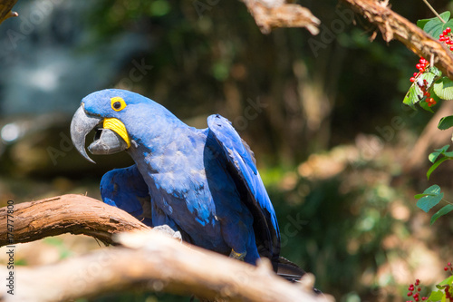 Macaw Flutter Wings on Branch Poster