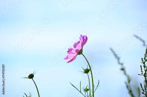 Fotobehang Lichtblauw Sims azalea