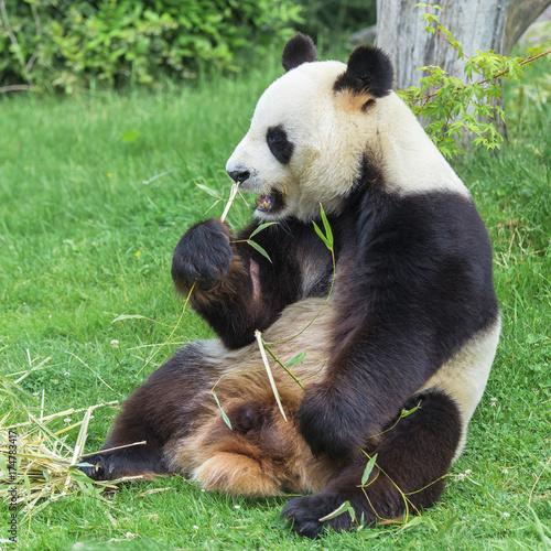 Fotobehang Bamboe Giant panda, bear panda eating bamboo
