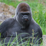 Gorilla, monkey, dominating male sitting in the grass, eating