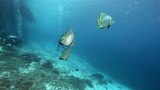 Longfin batfish (Platax teira) with scuba divers in the background at Raja Ampat, Indonesia  - 174785246