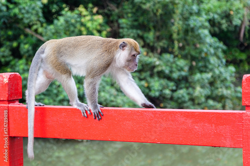 Wild Long-Tailed Macaque in Singapore Poster