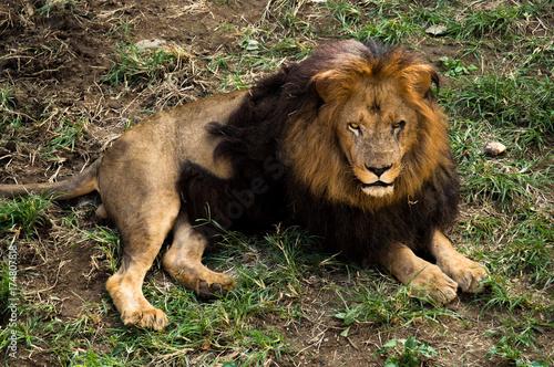 のんびりするタテガミのかっこいい雄ライオン Poster