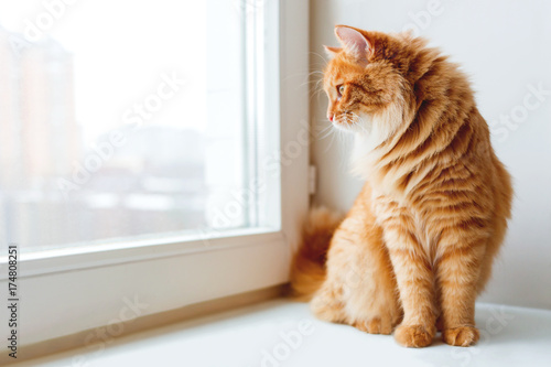 Cute ginger cat siting on window sill and waiting for something. Fluffy pet looks in window. - 174808251