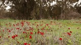 Wide field of red anemones on a wind front of eucalyptus forest - 174810292