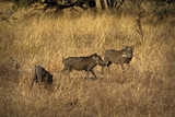 Warthogs, wild member of the pig family, in the Kruger National Park, South Africa - 174819477