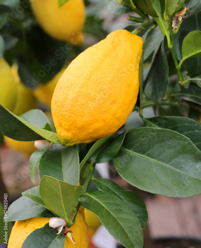Aluminium Palermo lemon plant with yellow ripe fruits