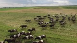Large herd of spotted cows run in the green field pasture blue sky clouds. Close Aerial drone 4k footage. - 174824027