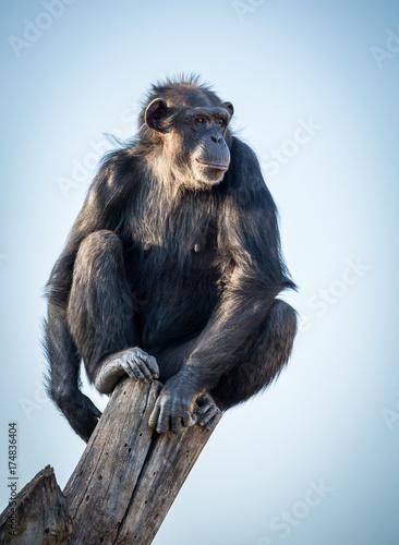 Fotobehang Aap pan troglodyte sitting on top of a log