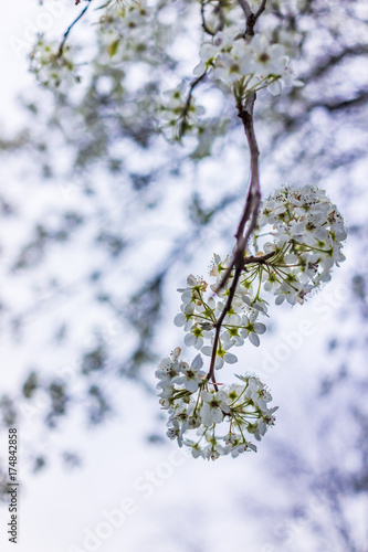 White and green cherry blossoms isolated against sky Poster