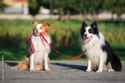 Staande foto Gras funny border collie dog holding another dog on a leash