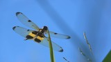 Slow motion beautiful dragonfly on top grass on sky blue background - 174851283